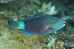 BD-130713-Maldives-0410-Chlorurus-sordidus-(Forsskål.-1775)-[Daisy-parrotfish].jpg
